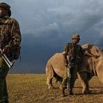 Ultimul rinocer alb nordic protejat 24/7